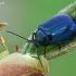 Mėlynasis alksniagraužis - Agelastica alni | Fotografijos autorius : Gintautas Steiblys | © Macrogamta.lt | Šis tinklapis priklauso bendruomenei kuri domisi makro fotografija ir fotografuoja gyvąjį makro pasaulį.