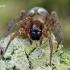 Gelsvapilvis niūrvoris - Amaurobius fenestralis  | Fotografijos autorius : Gintautas Steiblys | © Macrogamta.lt | Šis tinklapis priklauso bendruomenei kuri domisi makro fotografija ir fotografuoja gyvąjį makro pasaulį.
