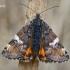 Paprastasis pavasarinukas - Archiearis parthenias  | Fotografijos autorius : Gintautas Steiblys | © Macrogamta.lt | Šis tinklapis priklauso bendruomenei kuri domisi makro fotografija ir fotografuoja gyvąjį makro pasaulį.