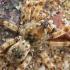 Pilkasis pasalūnas - Arctosa cinerea | Fotografijos autorius : Gintautas Steiblys | © Macrogamta.lt | Šis tinklapis priklauso bendruomenei kuri domisi makro fotografija ir fotografuoja gyvąjį makro pasaulį.