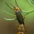 Minkštavabaliai - Cantaris pellucida  | Fotografijos autorius : Gintautas Steiblys | © Macrogamta.lt | Šis tinklapis priklauso bendruomenei kuri domisi makro fotografija ir fotografuoja gyvąjį makro pasaulį.