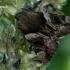 Geltonsparnė peteliškė - Catocala (=Ephesia) fulminea  | Fotografijos autorius : Gintautas Steiblys | © Macrogamta.lt | Šis tinklapis priklauso bendruomenei kuri domisi makro fotografija ir fotografuoja gyvąjį makro pasaulį.