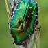 Paprastasis auksavabalis - Cetonia aurata  | Fotografijos autorius : Gintautas Steiblys | © Macrogamta.lt | Šis tinklapis priklauso bendruomenei kuri domisi makro fotografija ir fotografuoja gyvąjį makro pasaulį.
