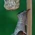 Rudoji kliostera - Clostera curtula | Fotografijos autorius : Gintautas Steiblys | © Macrogamta.lt | Šis tinklapis priklauso bendruomenei kuri domisi makro fotografija ir fotografuoja gyvąjį makro pasaulį.