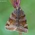 Rusvasis dobilinukas - Euclidia glyphica  | Fotografijos autorius : Gintautas Steiblys | © Macrogamta.lt | Šis tinklapis priklauso bendruomenei kuri domisi makro fotografija ir fotografuoja gyvąjį makro pasaulį.