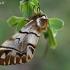 Keršasparnis verpikas - Endromis versicolora | Fotografijos autorius : Gintautas Steiblys | © Macrogamta.lt | Šis tinklapis priklauso bendruomenei kuri domisi makro fotografija ir fotografuoja gyvąjį makro pasaulį.