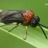 Pjūklelis - Eutomostethus ephippium  | Fotografijos autorius : Gintautas Steiblys | © Macrogamta.lt | Šis tinklapis priklauso bendruomenei kuri domisi makro fotografija ir fotografuoja gyvąjį makro pasaulį.