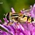 Žiedmusė - Helophilus trivittatus ♀  | Fotografijos autorius : Gintautas Steiblys | © Macrogamta.lt | Šis tinklapis priklauso bendruomenei kuri domisi makro fotografija ir fotografuoja gyvąjį makro pasaulį.