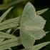 Pilkšvasis žaliasprindis - Hemithea aestivaria  | Fotografijos autorius : Gintautas Steiblys | © Macrogamta.lt | Šis tinklapis priklauso bendruomenei kuri domisi makro fotografija ir fotografuoja gyvąjį makro pasaulį.