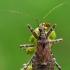 Žiaurioji skerdblakė - Himacerus apterus  | Fotografijos autorius : Gintautas Steiblys | © Macrogamta.lt | Šis tinklapis priklauso bendruomenei kuri domisi makro fotografija ir fotografuoja gyvąjį makro pasaulį.