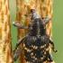 Didysis pušinis straubliukas - Hylobius abietis  | Fotografijos autorius : Gintautas Steiblys | © Macrogamta.lt | Šis tinklapis priklauso bendruomenei kuri domisi makro fotografija ir fotografuoja gyvąjį makro pasaulį.