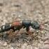 Trumpasparnis - Staphylinus erythropterus | Fotografijos autorius : Gintautas Steiblys | © Macrogamta.lt | Šis tinklapis priklauso bendruomenei kuri domisi makro fotografija ir fotografuoja gyvąjį makro pasaulį.