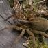 Paprastasis slampinėlis - Trochosa terricola | Fotografijos autorius : Gintautas Steiblys | © Macrogamta.lt | Šis tinklapis priklauso bendruomenei kuri domisi makro fotografija ir fotografuoja gyvąjį makro pasaulį.