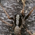 Paprastasis šuolininkas - Pardosa lugubris s. str. | Fotografijos autorius : Gintautas Steiblys | © Macrogamta.lt | Šis tinklapis priklauso bendruomenei kuri domisi makro fotografija ir fotografuoja gyvąjį makro pasaulį.