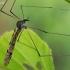 Ilgakojis uodas - Limnophila schranki | Fotografijos autorius : Gintautas Steiblys | © Macrogamta.lt | Šis tinklapis priklauso bendruomenei kuri domisi makro fotografija ir fotografuoja gyvąjį makro pasaulį.