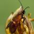Juodagalvė ilgaūsė makštinė kandis - Cauchas cf rufimitrella  | Fotografijos autorius : Gintautas Steiblys | © Macrogamta.lt | Šis tinklapis priklauso bendruomenei kuri domisi makro fotografija ir fotografuoja gyvąjį makro pasaulį.
