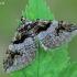 Raugerškinė cidarija - Pareulype berberata  | Fotografijos autorius : Gintautas Steiblys | © Macrogamta.lt | Šis tinklapis priklauso bendruomenei kuri domisi makro fotografija ir fotografuoja gyvąjį makro pasaulį.