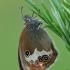Krūminis satyriukas - Coenonympha arcania | Fotografijos autorius : Gintautas Steiblys | © Macrogamta.lt | Šis tinklapis priklauso bendruomenei kuri domisi makro fotografija ir fotografuoja gyvąjį makro pasaulį.