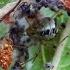 Tamsiakraštis kilpininkas - Phylloneta (=Theridion) impressa | Fotografijos autorius : Gintautas Steiblys | © Macrogamta.lt | Šis tinklapis priklauso bendruomenei kuri domisi makro fotografija ir fotografuoja gyvąjį makro pasaulį.