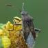 Kampuotblakė - Stictopleurus sp.   Fotografijos autorius : Gintautas Steiblys   © Macrogamta.lt   Šis tinklapis priklauso bendruomenei kuri domisi makro fotografija ir fotografuoja gyvąjį makro pasaulį.