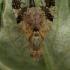Margasparnė - Tephritis bardanae  | Fotografijos autorius : Gintautas Steiblys | © Macrogamta.lt | Šis tinklapis priklauso bendruomenei kuri domisi makro fotografija ir fotografuoja gyvąjį makro pasaulį.