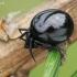 Plaukuotasis skruzdėvoris - Lasaeola (=Dipoena) tristis | Fotografijos autorius : Gintautas Steiblys | © Macrogamta.lt | Šis tinklapis priklauso bendruomenei kuri domisi makro fotografija ir fotografuoja gyvąjį makro pasaulį.
