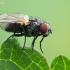 Išvietininkė - Fanniidae  | Fotografijos autorius : Gintautas Steiblys | © Macrogamta.lt | Šis tinklapis priklauso bendruomenei kuri domisi makro fotografija ir fotografuoja gyvąjį makro pasaulį.