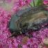 Marmurinis auksavabalis - Protaetia lugubris | Fotografijos autorius : Gintautas Steiblys | © Macrogamta.lt | Šis tinklapis priklauso bendruomenei kuri domisi makro fotografija ir fotografuoja gyvąjį makro pasaulį.