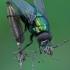 Žalioji lavonmusė - Lucilia sp.   Fotografijos autorius : Gintautas Steiblys   © Macrogamta.lt   Šis tinklapis priklauso bendruomenei kuri domisi makro fotografija ir fotografuoja gyvąjį makro pasaulį.
