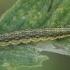 Auksaspalvė pyrausta - Pyrausta aurata, vikšras | Fotografijos autorius : Gintautas Steiblys | © Macrogamta.lt | Šis tinklapis priklauso bendruomenei kuri domisi makro fotografija ir fotografuoja gyvąjį makro pasaulį.