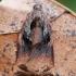 Visaėdis archipsas / Visaėdis lapsukis - Archips podana, patinas | Fotografijos autorius : Gintautas Steiblys | © Macrogamta.lt | Šis tinklapis priklauso bendruomenei kuri domisi makro fotografija ir fotografuoja gyvąjį makro pasaulį.