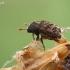 Margasis karnagraužis - Hylesinus fraxini | Fotografijos autorius : Gintautas Steiblys | © Macrogamta.lt | Šis tinklapis priklauso bendruomenei kuri domisi makro fotografija ir fotografuoja gyvąjį makro pasaulį.