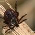 Pievinė erkė - Dermacentor reticulatus | Fotografijos autorius : Gintautas Steiblys | © Macrogamta.lt | Šis tinklapis priklauso bendruomenei kuri domisi makro fotografija ir fotografuoja gyvąjį makro pasaulį.