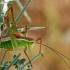 Antalinis pjūklius - Parapoecilimon antalyaensis | Fotografijos autorius : Gintautas Steiblys | © Macrogamta.lt | Šis tinklapis priklauso bendruomenei kuri domisi makro fotografija ir fotografuoja gyvąjį makro pasaulį.
