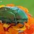 Auksavabalis - Protaetia affinis | Fotografijos autorius : Gintautas Steiblys | © Macrogamta.lt | Šis tinklapis priklauso bendruomenei kuri domisi makro fotografija ir fotografuoja gyvąjį makro pasaulį.