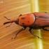 Raudonasis palminis straubliukas - Rhynchophorus ferrugineus, patinas | Fotografijos autorius : Gintautas Steiblys | © Macrogamta.lt | Šis tinklapis priklauso bendruomenei kuri domisi makro fotografija ir fotografuoja gyvąjį makro pasaulį.