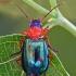 Žaliagalvis lapažygis - Lebia chlorocephala   Fotografijos autorius : Gintautas Steiblys   © Macrogamta.lt   Šis tinklapis priklauso bendruomenei kuri domisi makro fotografija ir fotografuoja gyvąjį makro pasaulį.