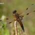 Keturtaškė skėtė - Libellula quadrimaculata    Fotografijos autorius : Gintautas Steiblys   © Macrogamta.lt   Šis tinklapis priklauso bendruomenei kuri domisi makro fotografija ir fotografuoja gyvąjį makro pasaulį.