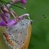 Didysis auksinukas - Lycaena dispar | Fotografijos autorius : Gintautas Steiblys | © Macrogamta.lt | Šis tinklapis priklauso bendruomenei kuri domisi makro fotografija ir fotografuoja gyvąjį makro pasaulį.