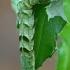 Juodasis sodinis pelėdgalvis - Melanchra persicariae, vikšras | Fotografijos autorius : Gintautas Steiblys | © Macrogamta.lt | Šis tinklapis priklauso bendruomenei kuri domisi makro fotografija ir fotografuoja gyvąjį makro pasaulį.