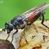 Žiedmusė - Brachypalpoides lentus  | Fotografijos autorius : Gintautas Steiblys | © Macrogamta.lt | Šis tinklapis priklauso bendruomenei kuri domisi makro fotografija ir fotografuoja gyvąjį makro pasaulį.