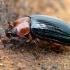 Sengirinis juodvabalis - Neomida haemorrhoidalis, patinas | Fotografijos autorius : Gintautas Steiblys | © Macrogamta.lt | Šis tinklapis priklauso bendruomenei kuri domisi makro fotografija ir fotografuoja gyvąjį makro pasaulį.