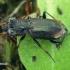 Žvilgžygis - Notiophilus biguttatus  | Fotografijos autorius : Gintautas Steiblys | © Macrogamta.lt | Šis tinklapis priklauso bendruomenei kuri domisi makro fotografija ir fotografuoja gyvąjį makro pasaulį.