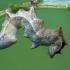 Gelsvasis kuoduotis - Notodonta ziczac, vikšras  | Fotografijos autorius : Gintautas Steiblys | © Macrogamta.lt | Šis tinklapis priklauso bendruomenei kuri domisi makro fotografija ir fotografuoja gyvąjį makro pasaulį.