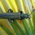 Laibavabalis - Oedemera virescens    Fotografijos autorius : Gintautas Steiblys   © Macrogamta.lt   Šis tinklapis priklauso bendruomenei kuri domisi makro fotografija ir fotografuoja gyvąjį makro pasaulį.