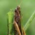Žaliasis skėriukas - Omocestus viridulus  | Fotografijos autorius : Gintautas Steiblys | © Macrogamta.lt | Šis tinklapis priklauso bendruomenei kuri domisi makro fotografija ir fotografuoja gyvąjį makro pasaulį.
