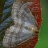 Mažasis žiemsprindis - Operophthera brumata, patinas   Fotografijos autorius : Gintautas Steiblys   © Macrogamta.lt   Šis tinklapis priklauso bendruomenei kuri domisi makro fotografija ir fotografuoja gyvąjį makro pasaulį.
