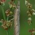 Dvidryžis varpinukas - Pediasia contaminella  | Fotografijos autorius : Gintautas Steiblys | © Macrogamta.lt | Šis tinklapis priklauso bendruomenei kuri domisi makro fotografija ir fotografuoja gyvąjį makro pasaulį.