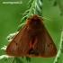 Rudoji meškutė - Phragmatobia fuliginosa    Fotografijos autorius : Gintautas Steiblys   © Macrogamta.lt   Šis tinklapis priklauso bendruomenei kuri domisi makro fotografija ir fotografuoja gyvąjį makro pasaulį.