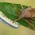 Dvispyglė skydblakė - Picromerus bidens  | Fotografijos autorius : Gintautas Steiblys | © Macrogamta.lt | Šis tinklapis priklauso bendruomenei kuri domisi makro fotografija ir fotografuoja gyvąjį makro pasaulį.